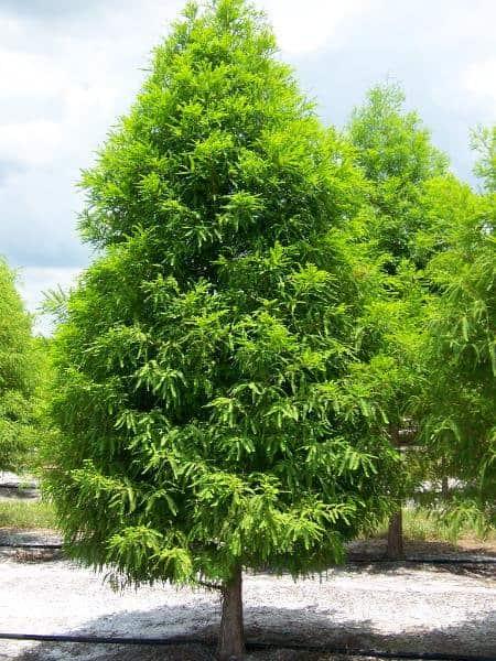 Bald Cypress Shawnee Brave