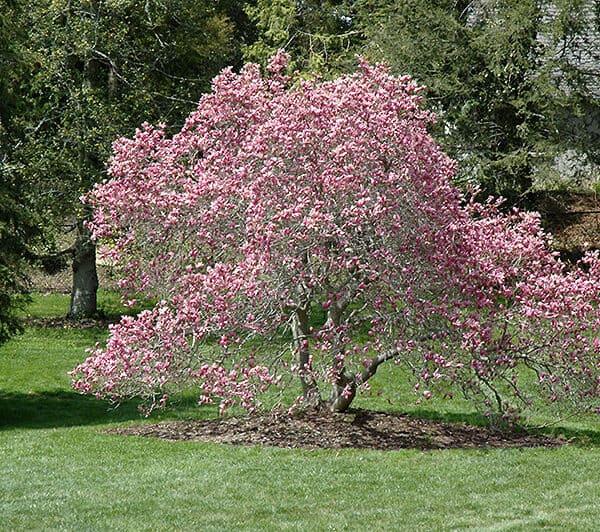 Spring Blooming Ann magnolia
